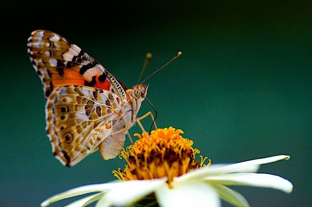 هجوم پروانه ها به شهرهای ایران؛ 10 حقیقت جالب در مورد پروانه خانم قشنگ