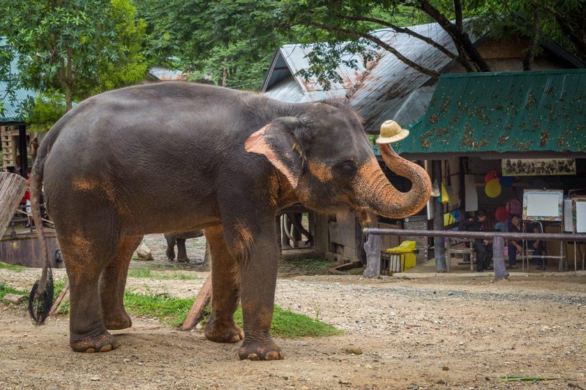 کمپ فیل های Maesa در چیانگ مای، تجربه دلنشین در شمال تایلند