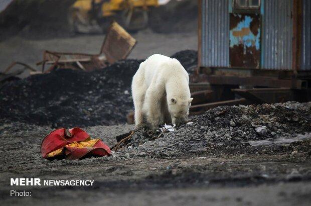 تغییرات آب و هوایی خرس های قطبی را منقرض می نماید