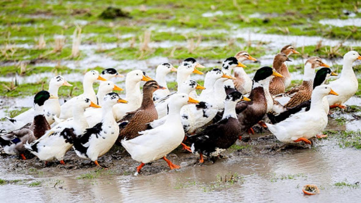 نبود خریدار اصلی ترین مشکل پرورش دهنده اردک در خراسان جنوبی